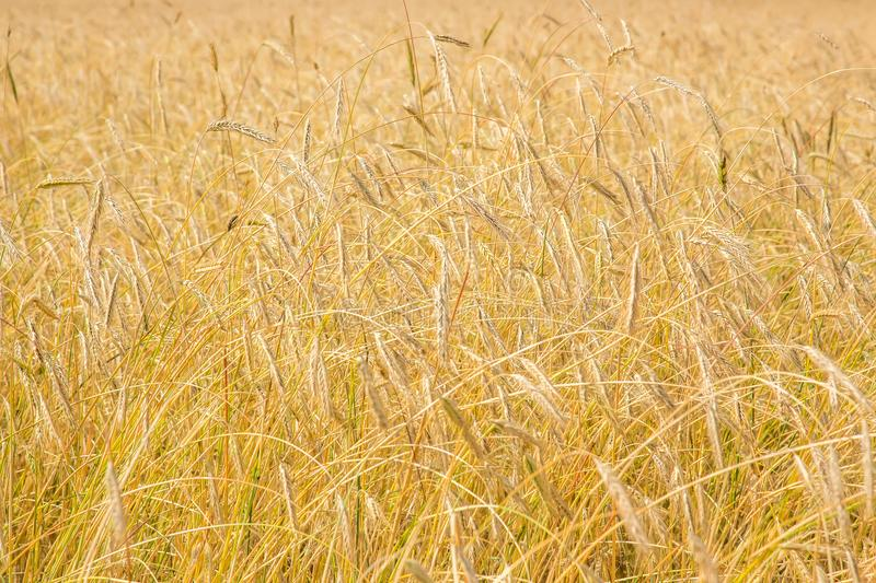 Ripe wheat background. Close up ears stock image