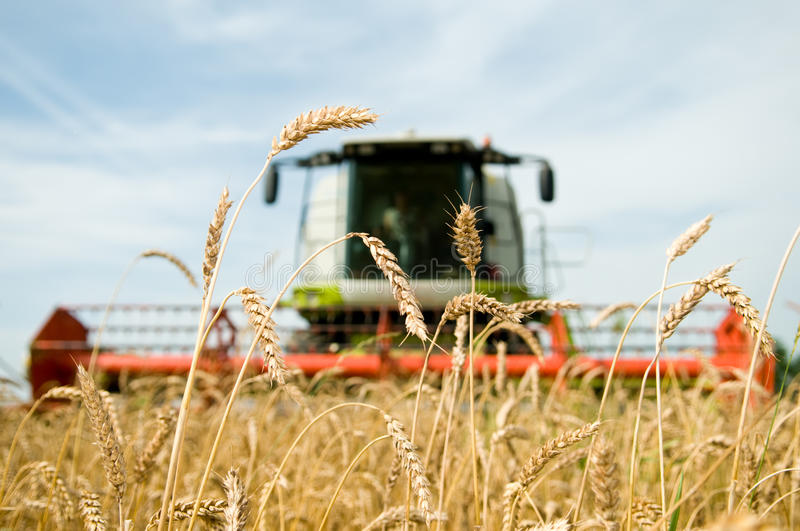 Ripe wheat with combine at stock images