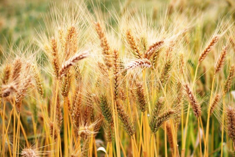 Ripe wheat crop stock image