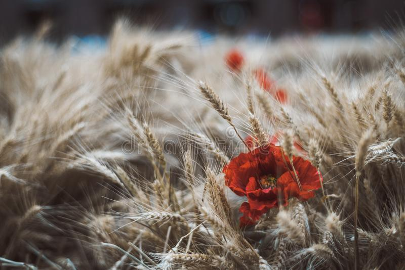 Ripe wheat crop with the flower of poppy among. Wheat crop with the flower of poppy on the left, spicate ripe corn on the field with a single red artificial bud royalty free stock photography