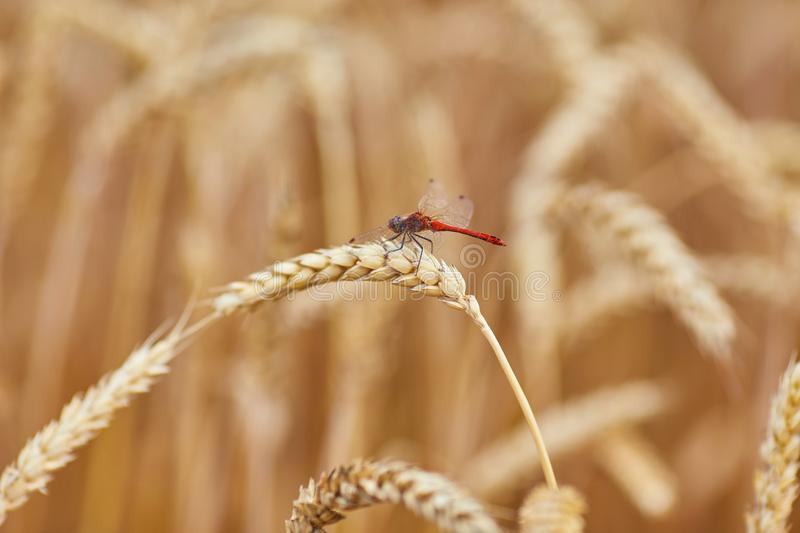 Ripe wheat with dragonfly royalty free stock photography