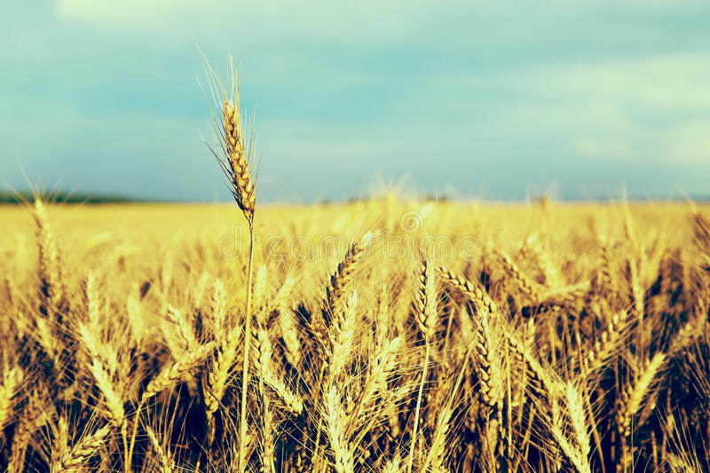 Ripe wheat ear close-up shot. Instagram effect, filtered image.  royalty free stock photos