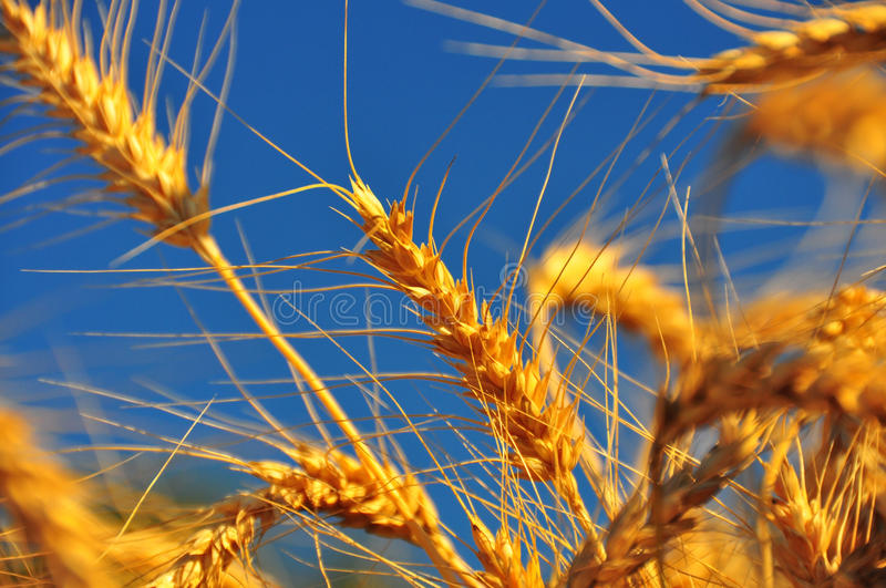 Download Ripe Wheat Ears stock image. Image of harvest, land, brown - 17175277