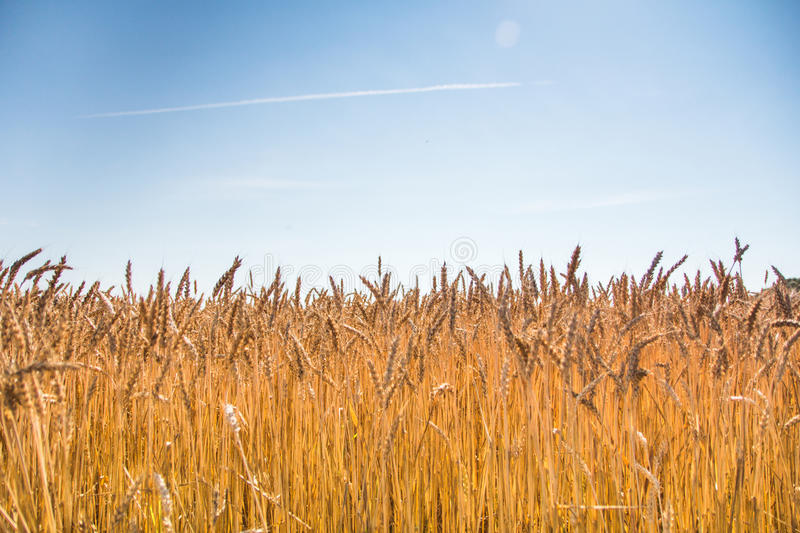 Ripe wheat field. Field of ripe wheat and blue sky with clouds stock photography