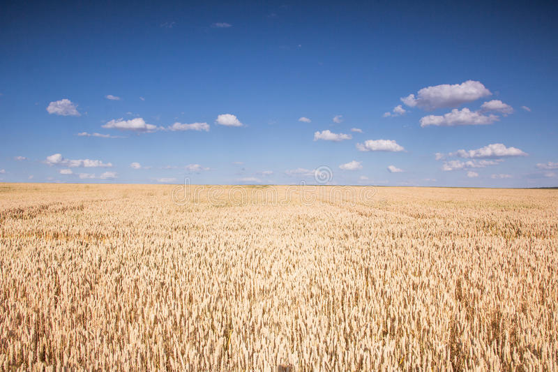 Ripe wheat field. Field of ripe wheat and blue sky with clouds royalty free stock photo