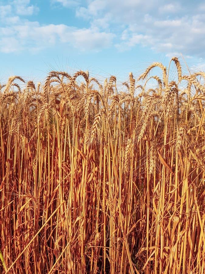 Ripe wheat field royalty free stock photography