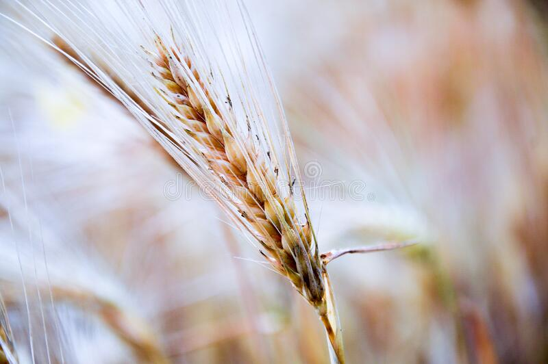 Ripe wheat in field royalty free stock photo