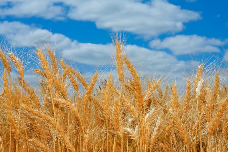 Ripe wheat field in Oregon stock images