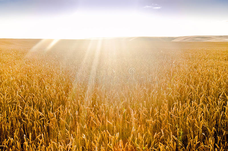 Ripe Wheat/Field of the Ripe Wheat in the SunsRays. Field of the Ripe Wheat in the SunsRays stock images