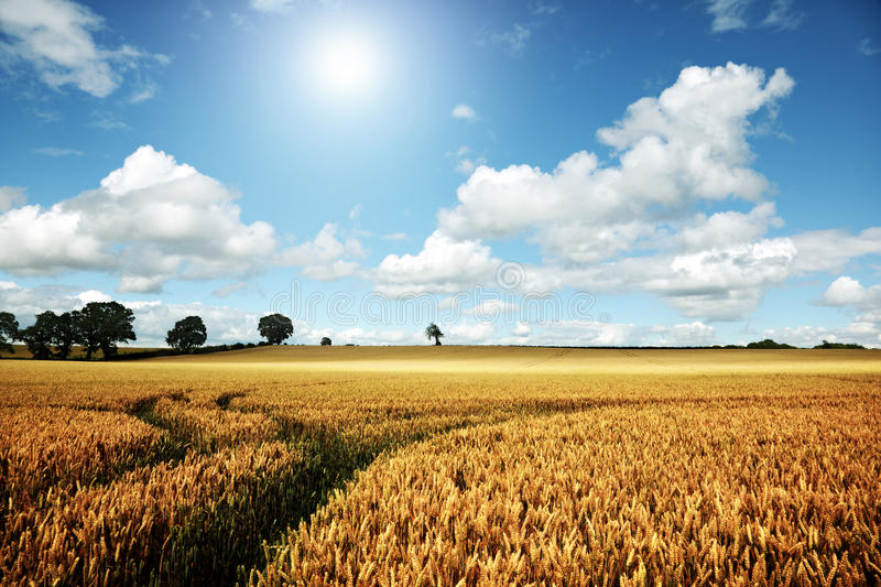 Download Ripe Wheat Field On A Summer Day Stock Image - Image: 20346535