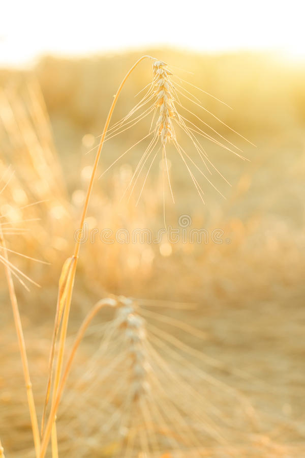 Ripe wheat field. The sun`s rays through the ripe wheat ears close-up royalty free stock photos