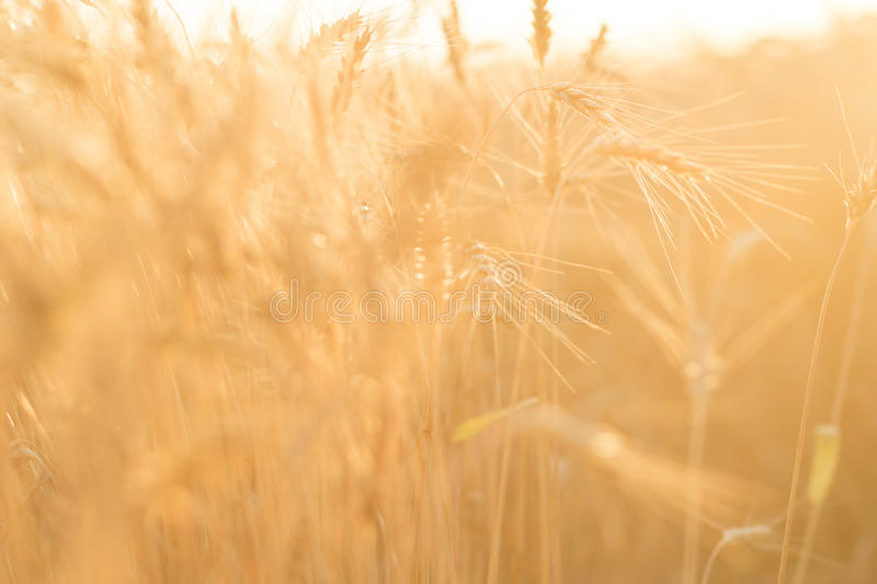 Ripe wheat field. The sun`s rays through the ripe wheat ears close-up royalty free stock image