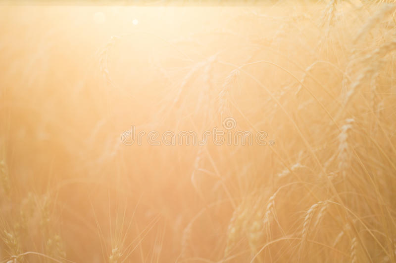 Ripe wheat field. The sun`s rays through the ripe wheat ears close-up stock photography