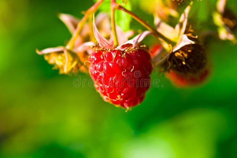 Download Ripe wild raspberries stock image. Image of berries, healthy - 25488861