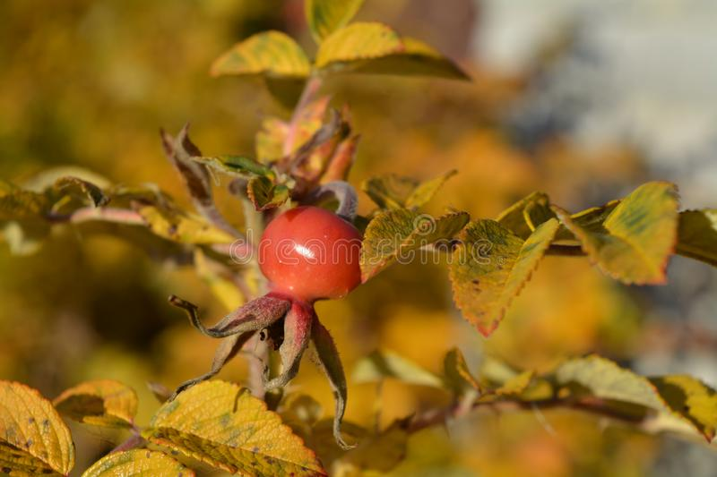 Ripe wild roseberry among yellow leaves royalty free stock photos