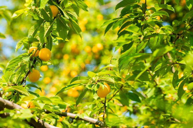 Cherry plum on the tree. Ripe yellow cherry plum on a tree in the summer on a sunny day stock photography