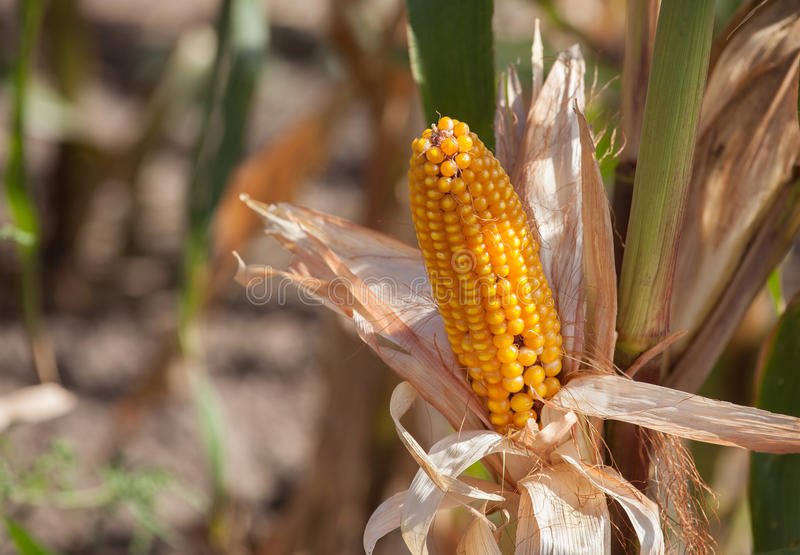 Ripe yellow cob of sweet corn on a large field. royalty free stock image