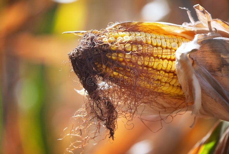 Ripe yellow cob of sweet corn on a large field. stock photography