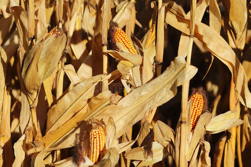 Ripe yellow ear of corn on the cob in a cultivated agricultural area. Harvesting ripe harvest. Preparation of silage for cattle. A royalty free stock image