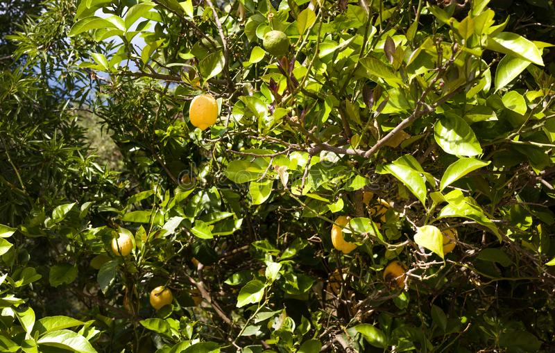 Ripe Yellow Lemon Hanging on a Tree. Bright Green Leaves with Sunlight Shining. Healthy Tropical Plant Bearing Citrus stock photo