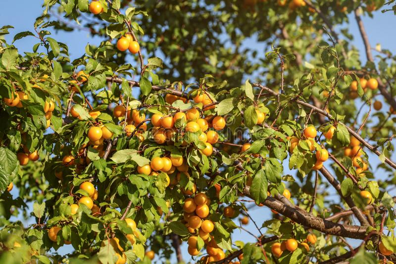 Ripe yellow mirabelle plum Prunus domestica fruits on tree, li. T by afternoon sun royalty free stock image