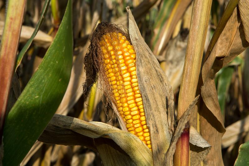 Ripe yellow organic corn ear ready to harvest royalty free stock photo