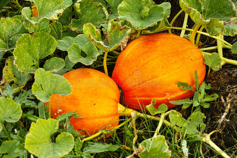 The ripe of yellow pumpkins at the field stock images