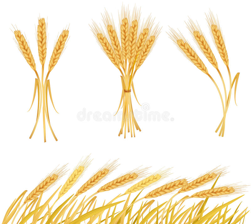 Ripe yellow wheat ears, agricultural. Illustration royalty free illustration