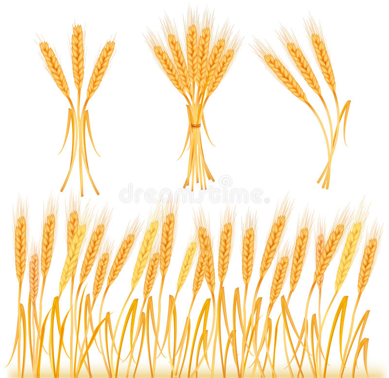 Ripe yellow wheat ears, agricultural. Illustration stock illustration