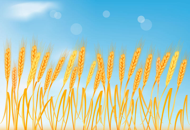 Ripe yellow wheat ears on the blue sky. Vector. Illustration stock illustration