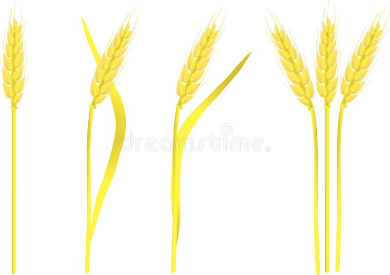 Ripe yellow wheat ears on white, painting. Vector illustration royalty free illustration