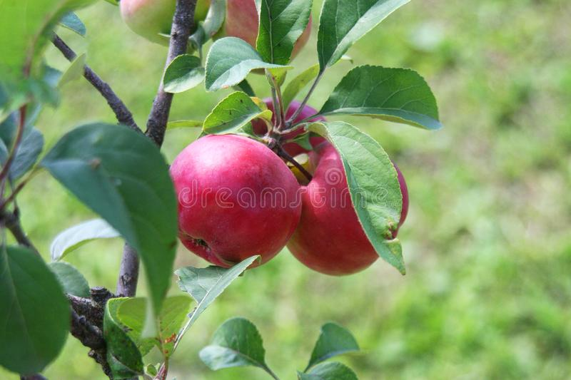 Riped, fine, red apple on the tree royalty free stock photo