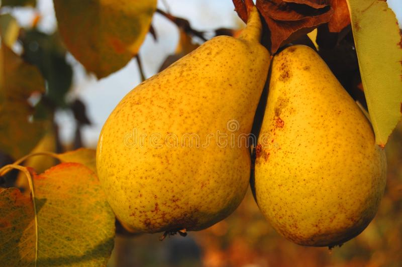 Download Riped pears on a branch stock image. Image of autumn - 11493119