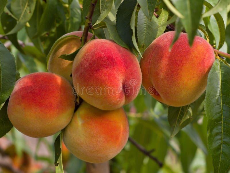 Riped sappige perziken op de boom vlak vóór oogst royalty-vrije stock fotografie