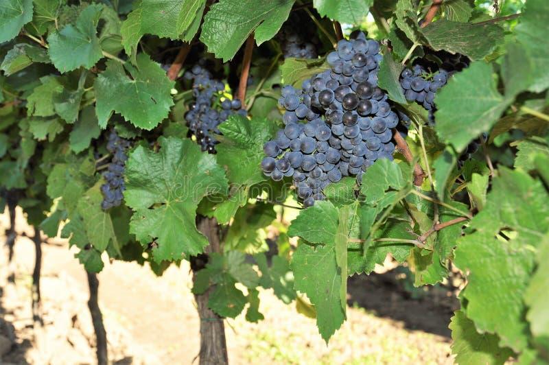 Riped-Trauben in einem Weinberg stockfotos
