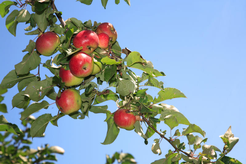 Download Ripen stock image. Image of leaves, branch, blue, apples - 10754301