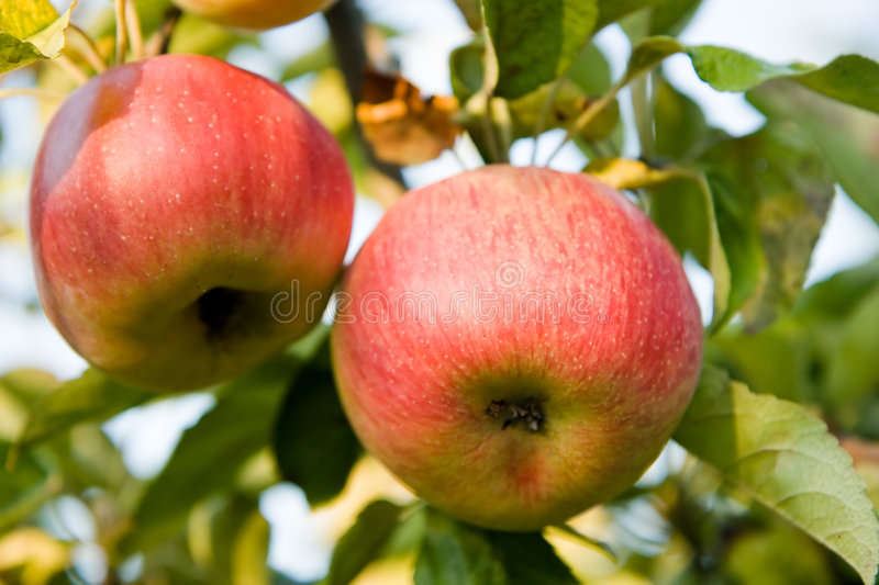 Download Ripen apple on the tree stock image. Image of farm, food - 6380449