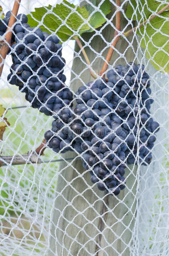 Download Ripen Pinot Noir Red Wine Grapes Under Nets #2 Royalty Free Stock Images - Image: 26627809
