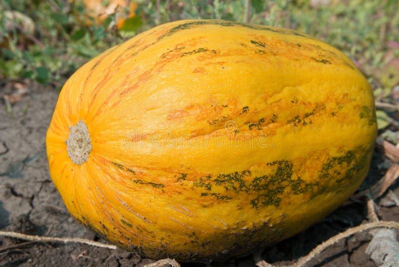 Ripen Pumpkin Stock Images
