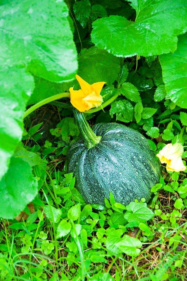 Ripen pumpkin