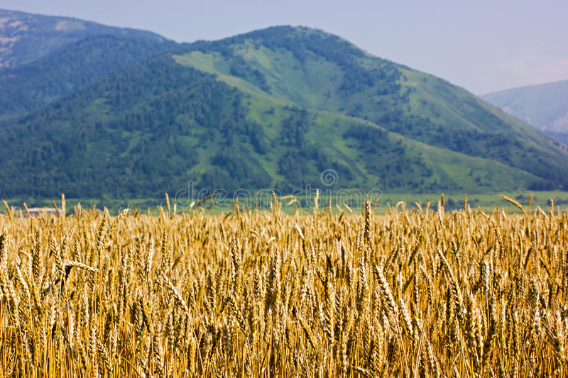 Download The ripen wheat field stock image. Image of season, outdoors - 25968571