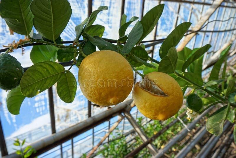 Ripened que estoura o limão em uma árvore em uma estufa da exploração agrícola foto de stock