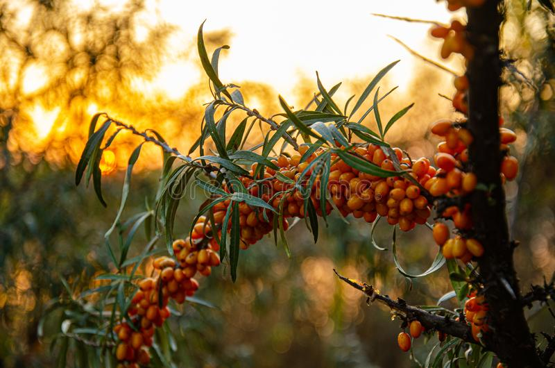 Ripened sea buckthorn on a branch in the garden at sunset. stock image