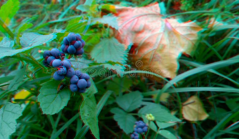 Ripened Wild Blackberry Waiting to be Picked. 3D anaglyph. Autumn royalty free stock photo