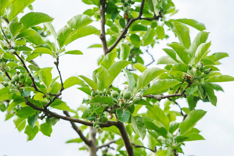 Ripening apples in the summer orchard. Unripe small green apples on the branches of a tree royalty free stock images