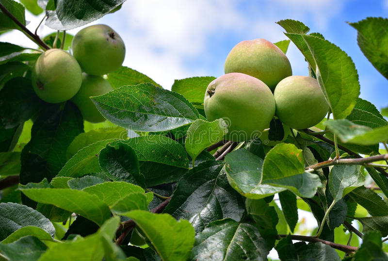 Ripening apples on tree. royalty free stock images