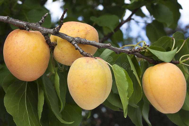 Download Ripening apricots stock image. Image of stem, foliage - 20072165