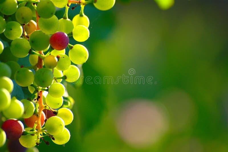 Ripening Blue Grapes royalty free stock photo