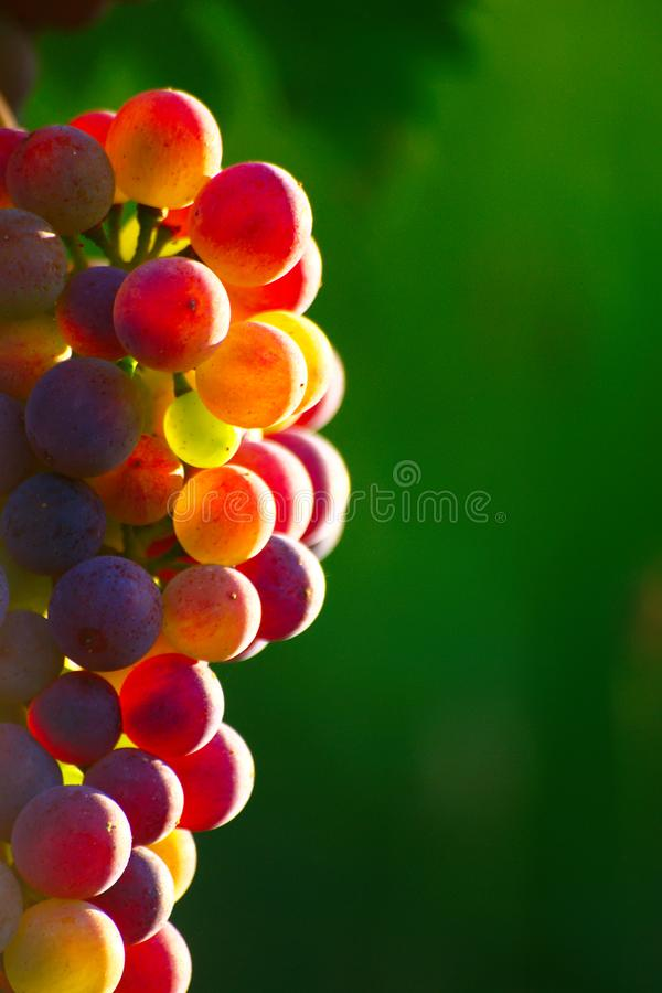 Ripening Blue Wine Grapes royalty free stock image