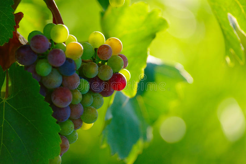 Ripening Blue Wine Grapes royalty free stock photography
